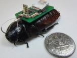Тараканы-киборги помогут спасти человеческие жизни